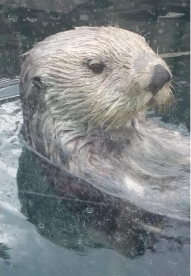 sea otter 1-edited